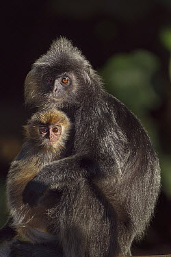 Silvered Leaf Monkey (Trachypithecus cristatus) mother with five month old baby, Bako National Park, Sarawak, Borneo, Malaysia  -  Fiona Rogers