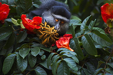 Blue Monkey (Cercopithecus mitis) feeding on African Tulip Tree (Spathodea sp) seed pods, Kakamega Forest Reserve, Kenya  -  Fiona Rogers