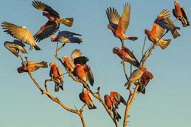Galah (Eolophus roseicapilla) flock landing in tree, Boulia, Queensland, Australia  -  D. Parer & E. Parer-Cook