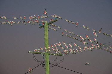 Galah (Eolophus roseicapilla) flock at dusk on power lines, Boulia, Queensland, Australia  -  D. Parer & E. Parer-Cook