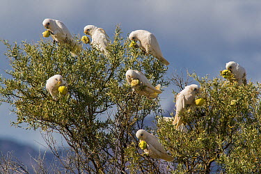 Little Corella (Cacatua sanguinea) flock feeding on Watermelon (Citrullus lanatus) seeds, Flinders Ranges, South Australia, Australia  -  D. Parer & E. Parer-Cook