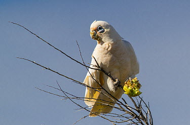 Little Corella (Cacatua sanguinea) feeding on Watermelon (Citrullus lanatus) seeds, Flinders Ranges, South Australia, Australia  -  D. Parer & E. Parer-Cook