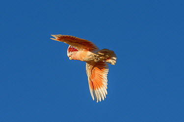 Major Mitchell's Cockatoo (Lophochroa leadbeateri) flying, Rainbow Valley Conservation Reserve, Northern Territory, Australia  -  D. Parer & E. Parer-Cook