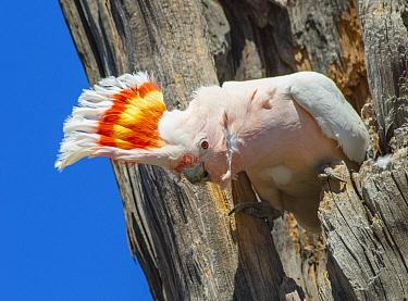 Major Mitchell's Cockatoo (Lophochroa leadbeateri) displaying in nest cavity, Murray-Sunset National Park, Victoria, Australia  -  D. Parer & E. Parer-Cook
