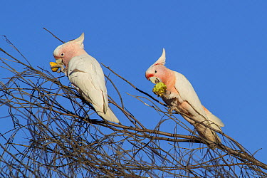 Major Mitchell's Cockatoo (Lophochroa leadbeateri) pair feeding on Watermelon (Citrullus lanatus) seeds, Rainbow Valley Conservation Reserve, Northern Territory, Australia  -  D. Parer & E. Parer-Cook