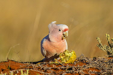Major Mitchell's Cockatoo (Lophochroa leadbeateri) feeding on Watermelon (Citrullus lanatus) seeds, Rainbow Valley Conservation Reserve, Northern Territory, Australia  -  D. Parer & E. Parer-Cook