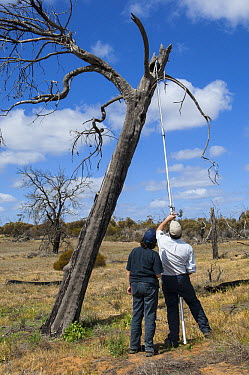 Major Mitchell's Cockatoo (Lophochroa leadbeateri) researchers surveying nest cavities for eggs using video camera, Murray-Sunset National Park, Victoria, Australia  -  D. Parer & E. Parer-Cook