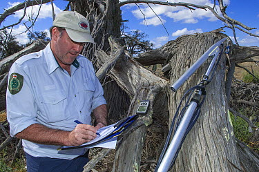 Major Mitchell's Cockatoo (Lophochroa leadbeateri) researcher surveying nest cavities for eggs using video camera, Murray-Sunset National Park, Victoria, Australia  -  D. Parer & E. Parer-Cook