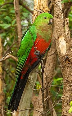 Australian King Parrot (Alisterus scapularis) sub-adult male, Dandenong Ranges National Park, Victoria, Australia  -  D. Parer & E. Parer-Cook