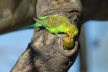 Budgerigar (Melopsittacus undulatus) male feeding female at nest cavity, South Australia, Australia  -  D. Parer & E. Parer-Cook