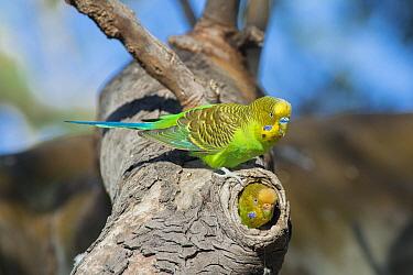 Budgerigar (Melopsittacus undulatus) male at nest cavity with female inside, South Australia, Australia  -  D. Parer & E. Parer-Cook
