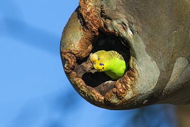 Budgerigar (Melopsittacus undulatus) female in nest cavity, South Australia, Australia  -  D. Parer & E. Parer-Cook