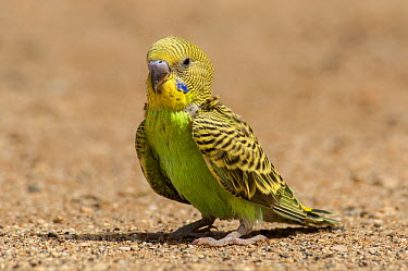 Budgerigar (Melopsittacus undulatus) juvenile, Trephina Gorge, Northern Territory, Australia  -  D. Parer & E. Parer-Cook