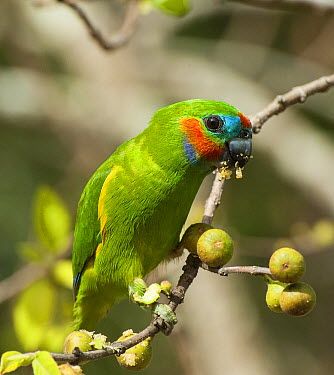 Double-eyed Fig Parrot (Cyclopsitta diophthalma macleayana) feeding on seeds, Cairns, Queensland, Australia  -  D. Parer & E. Parer-Cook