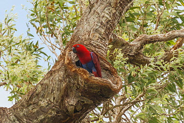 Eclectus Parrot (Eclectus roratus) female at nest cavity, Iron Range, Queensland, Australia  -  D. Parer & E. Parer-Cook