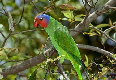 Red-cheeked Parrot (Geoffroyus geoffroyi), Iron Range, Queensland, Australia  -  D. Parer & E. Parer-Cook