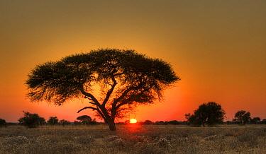 Sun rising behind an acacia tree, Central Kalahari Game Reserve, Botswana  -  Sean Crane