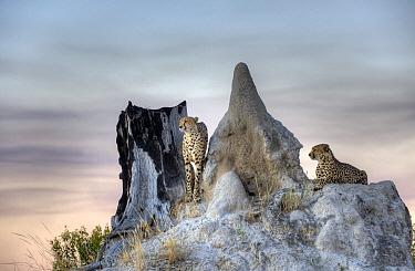 Cheetah (Acinonyx jubatus) pair on termite mound, Linyanti Swamp, Botswana  -  Sean Crane