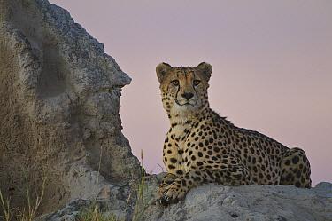 Cheetah (Acinonyx jubatus) sitting on a termite mound, Linyanti Swamp, Botswana  -  Sean Crane