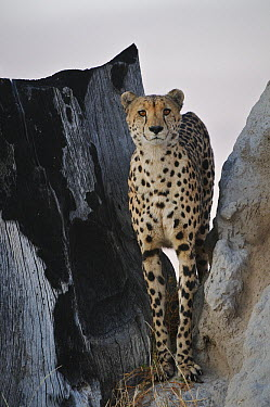 Cheetah (Acinonyx jubatus) near a burned tree and termite mound at sunset, Linyanti Swamp, Botswana  -  Sean Crane