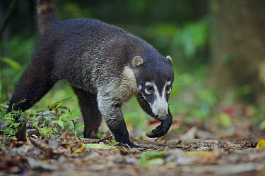 White-nosed Coati (Nasua narica) foraging, Corcovado National Park, Costa Rica  -  Sean Crane