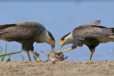 Southern Caracara (Caracara plancus) pair feeding on a catfish, Pantanal, Brazil  -  Sean Crane