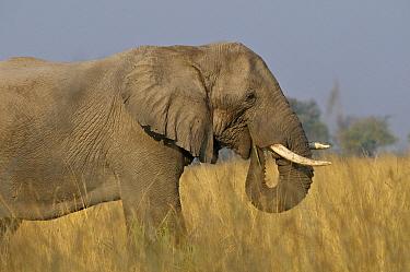 African Elephant (Loxodonta africana) eating grass, Linyanti Swamp, Botswana  -  Sean Crane