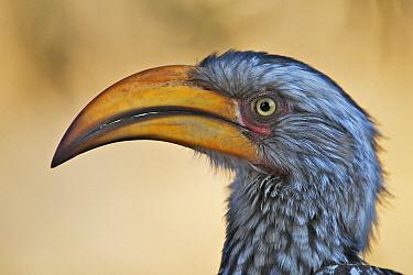 Southern Yellow-billed Hornbill (Tockus leucomelas), Central Kalahari Game Reserve, Botswana  -  Sean Crane