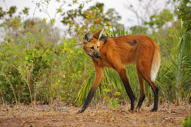 Maned Wolf (Chrysocyon brachyurus), Piaui State, Brazil  -  Sean Crane
