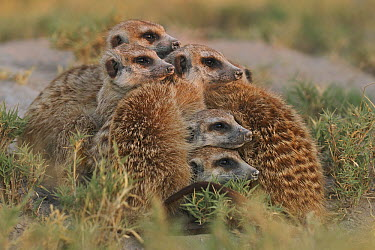 Meerkat (Suricata suricatta) group on the lookout, Makgadikgadi Pan, Botswana  -  Sean Crane