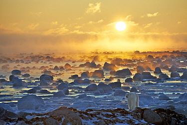 Polar Bear (Ursus maritimus) at sunrise, Hudson Bay, Seal River, Manitoba, Canada  -  Sean Crane