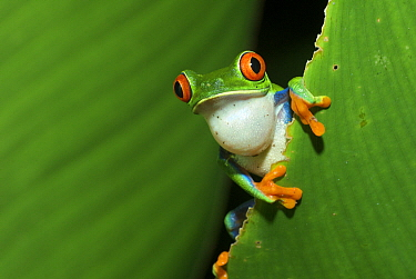 Red-eyed Tree Frog (Agalychnis callidryas) calling for a mate, Tortuguero National Park, Costa Rica  -  Sean Crane