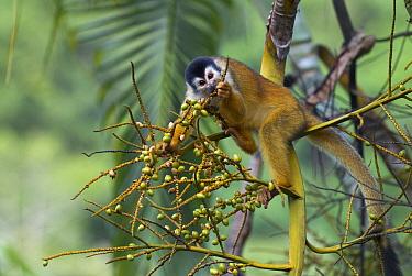 Black-crowned Central American Squirrel Monkey (Saimiri oerstedii) feeding on fruit near Pavones, Costa Rica  -  Sean Crane