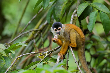 Black-crowned Central American Squirrel Monkey (Saimiri oerstedii) eating fruit near Pavones, Costa Rica  -  Sean Crane