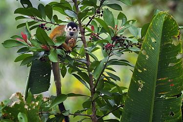 Black-crowned Central American Squirrel Monkey (Saimiri oerstedii) eating berries near Pavones, Costa Rica  -  Sean Crane