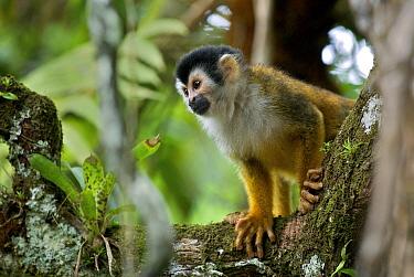 Black-crowned Central American Squirrel Monkey (Saimiri oerstedii), Pavones, Costa Rica  -  Sean Crane