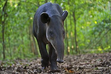 Baird's Tapir (Tapirus bairdii), Corcovado National Park, Costa Rica  -  Sean Crane