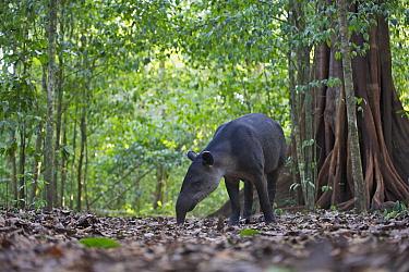 Baird's Tapir (Tapirus bairdii) foraging on the forest floor, Corcovado National Park in Costa Rica  -  Sean Crane