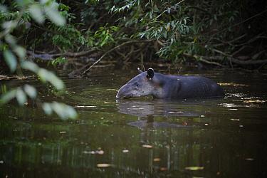Baird's Tapir (Tapirus bairdii) crossing a river, Corcovado National Park, Costa Rica  -  Sean Crane