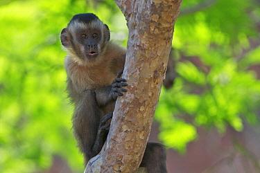 Brown Capuchin (Cebus apella) peeking from behind a tree, Piaui State, Brazil  -  Sean Crane