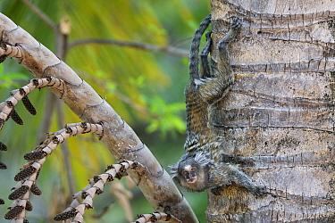 Common Marmoset (Callithrix jacchus) climbing down a tree, Piaui State, Brazil  -  Sean Crane