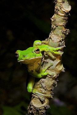 White-lipped Tree Frog (Litoria infrafrenata) clinging to a branch, Daintree National Park, Queensland, Australia  -  Sean Crane