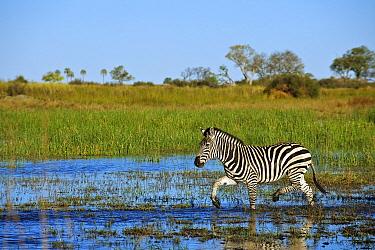 Burchell's Zebra (Equus burchellii) crossing a flooded field, Linyanti Concession, Okavango Delta, Botswana  -  Sean Crane