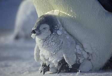 Emperor Penguin (Aptenodytes forsteri) chick during snowstorm, Dumont d'Urville, East Antarctica, Antarctica  -  Frederique Olivier/ Hedgehog Hou
