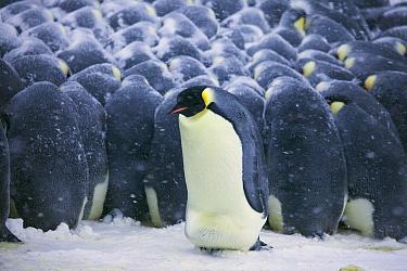 Emperor Penguin (Aptenodytes forsteri) male shuffling on outside of huddle, trying to get to the inside for warmth, Dumont d'Urville, East Antarctica, Antarctica  -  Frederique Olivier/ Hedgehog Hou