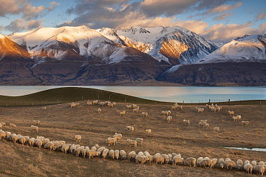 Domestic Sheep (Ovis aries) flock on pasture, Ben Ohau Range above Lake Pukaki, Mackenzie Country, Canterbury, New Zealand  -  Colin Monteath/ Hedgehog House