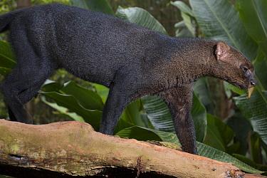 Jaguarundi (Puma yagouaroundi), native to Central and South America  -  Roland Seitre