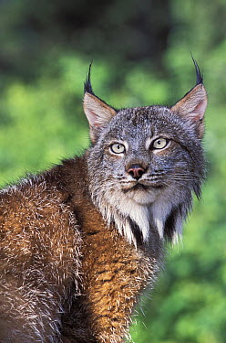 Canada Lynx (Lynx canadensis), native to North America  -  Roland Seitre