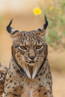 Spanish Lynx (Lynx pardinus), native to Iberian Peninsula  -  Roland Seitre