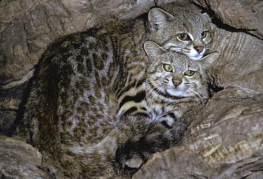 Geoffroy's Cat (Leopardus geoffroyi) pair, native to South America  -  Roland Seitre